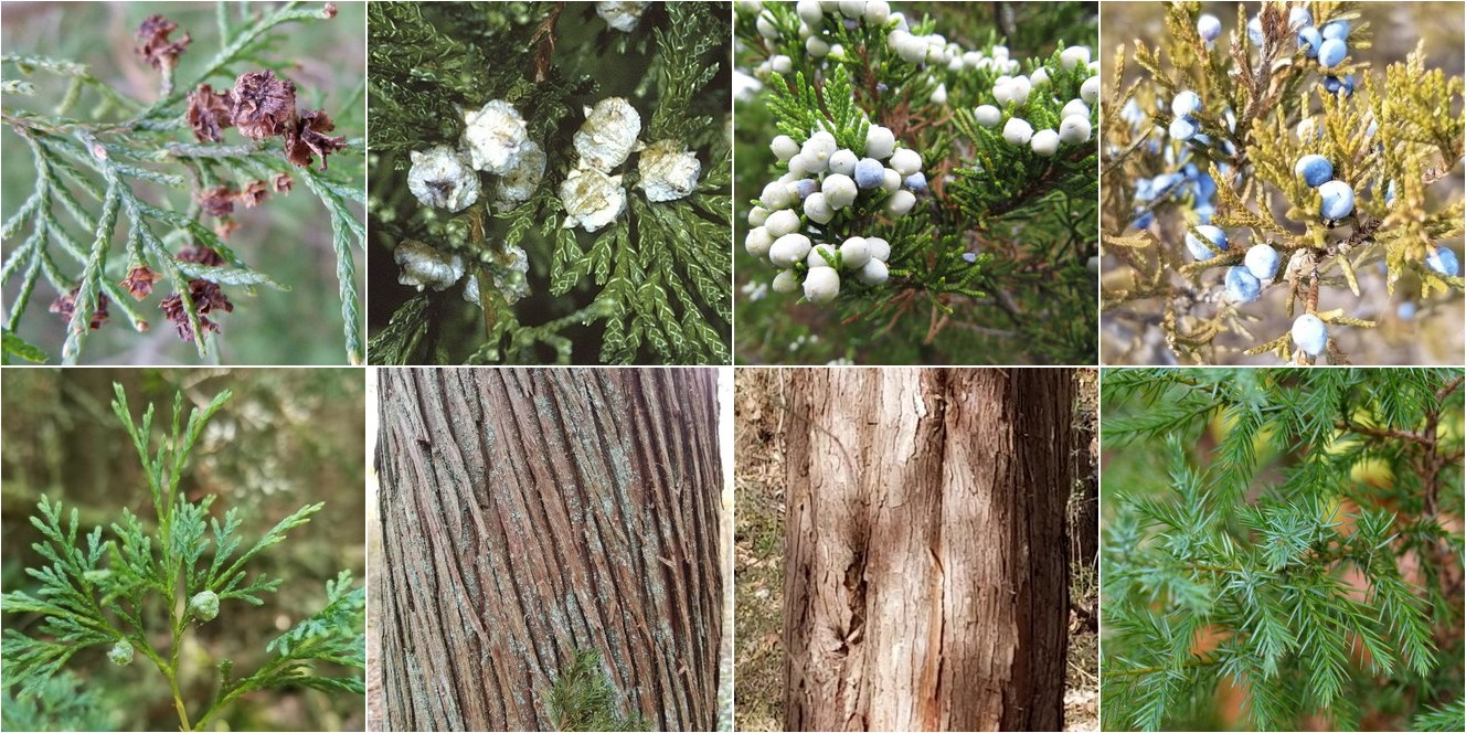 collage of Atlantic White Cedar and Eastern Redcedar