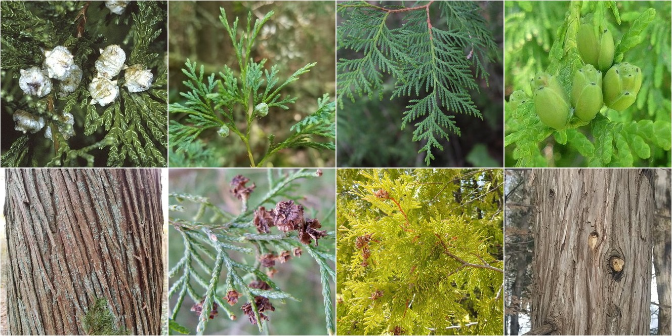 collage of Atlantic White Cedar and Northern White-Cedar