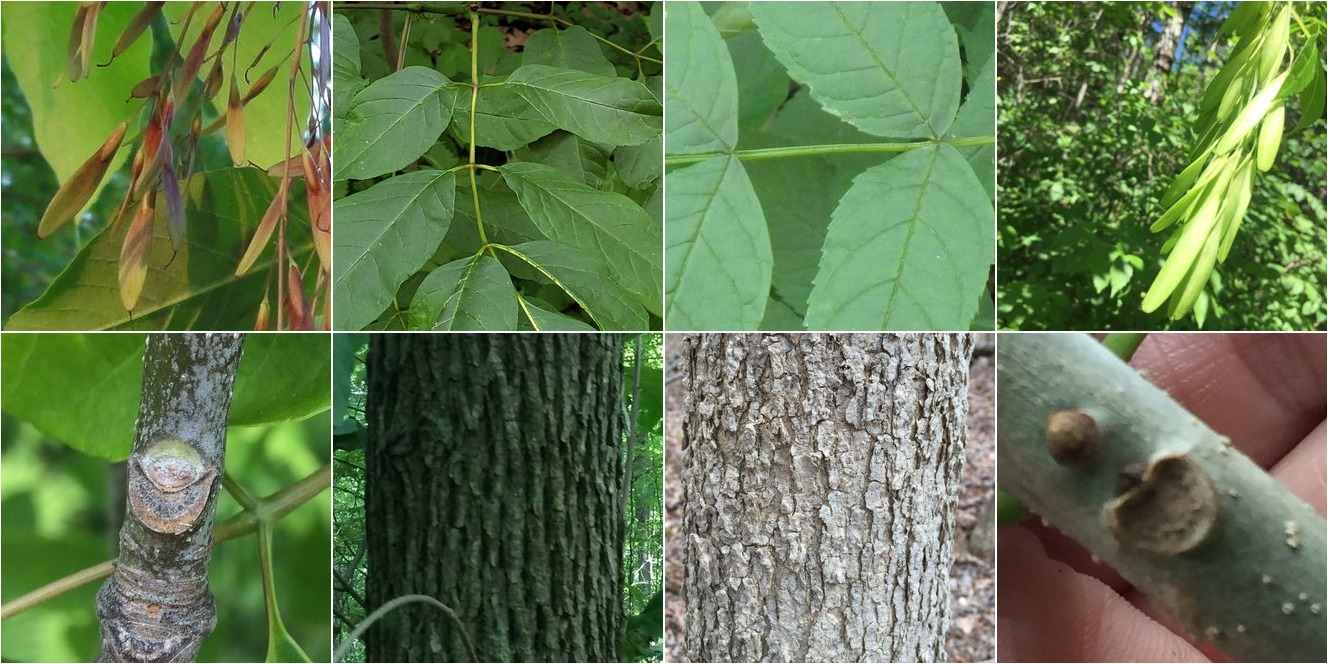 collage of White Ash and Black Ash