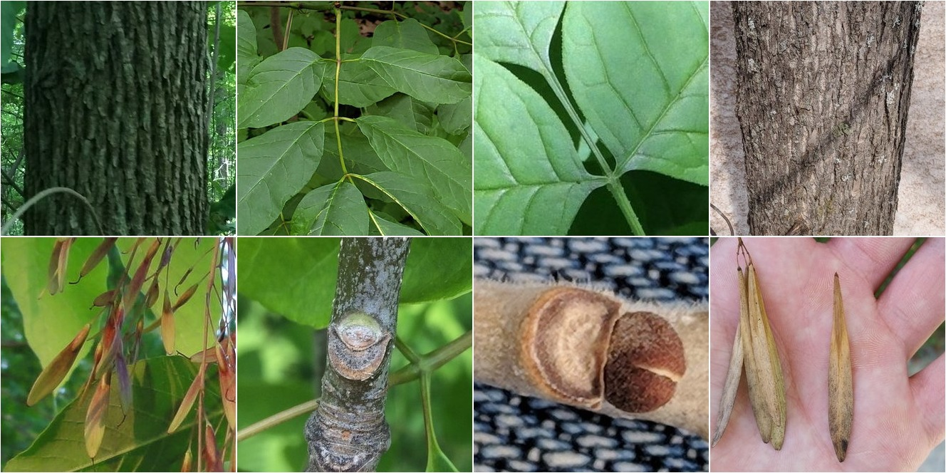 collage of White Ash and Green Ash