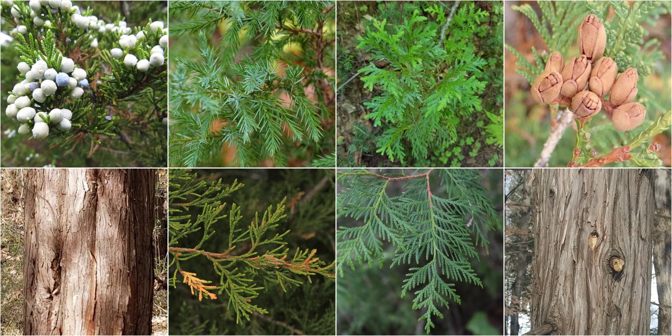 collage of Eastern Redcedar and Northern White-Cedar