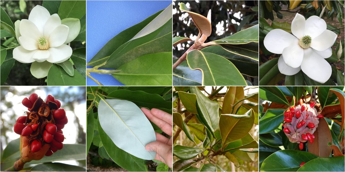 collage of Sweetbay Magnolia and Southern Magnolia