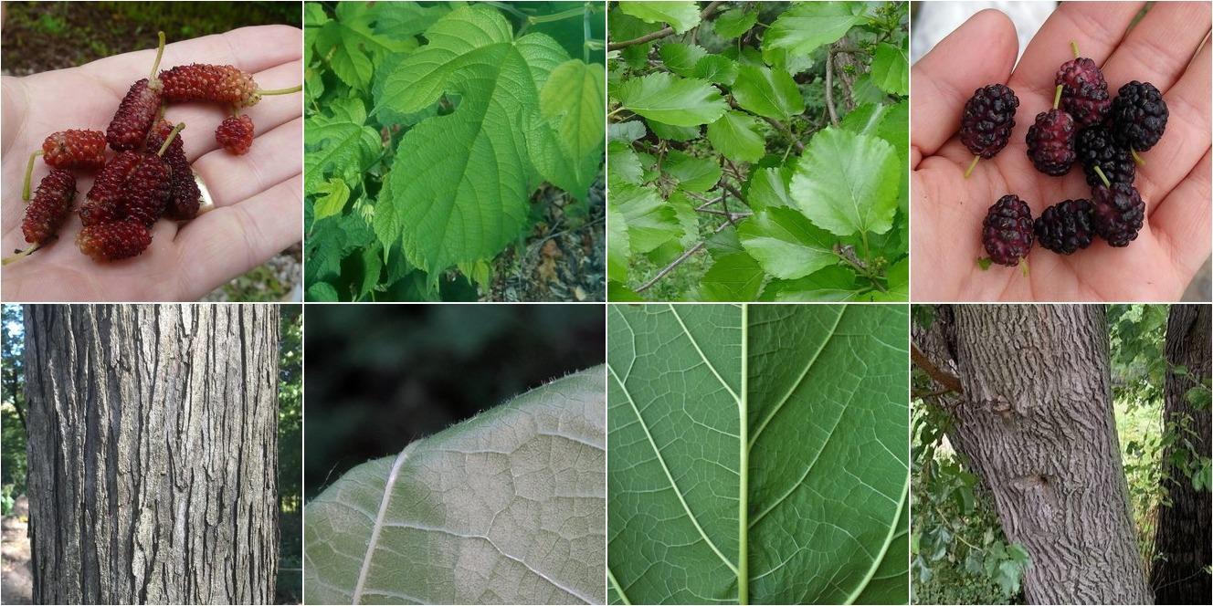 collage of Red Mulberry and White Mulberry