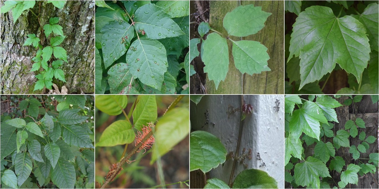 collage of Eastern Poison Ivy and Boston Ivy