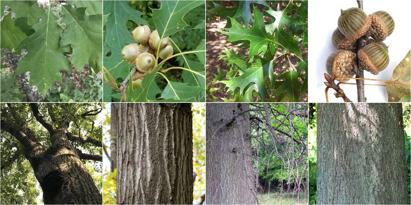 collage of Northern Red Oak and Pin Oak