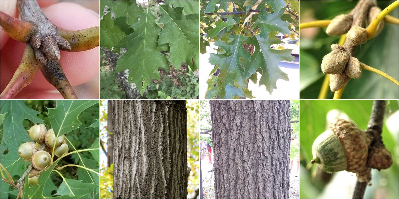 collage of Northern Red Oak and Black Oak