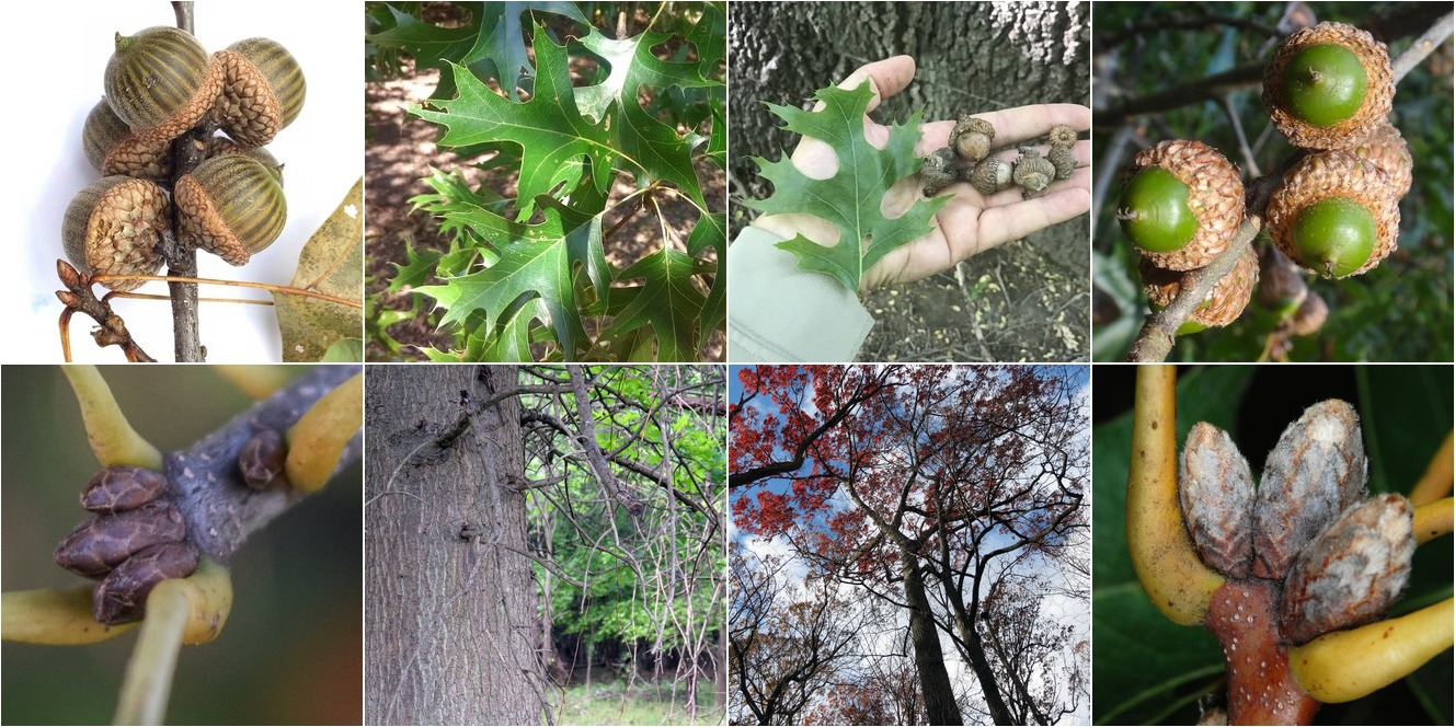 collage of Pin Oak and Scarlet Oak