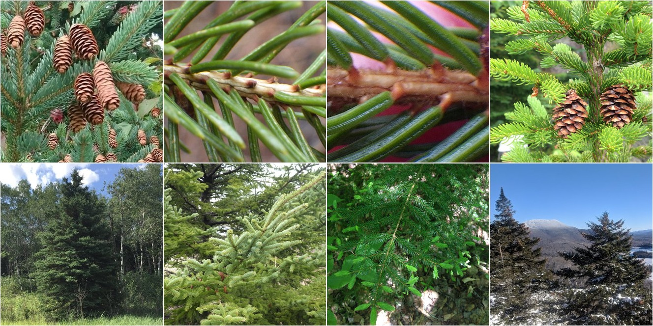 collage of White Spruce and Red Spruce