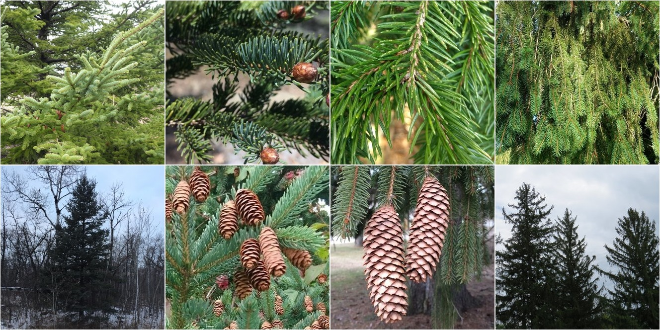collage of White Spruce and Norway Spruce