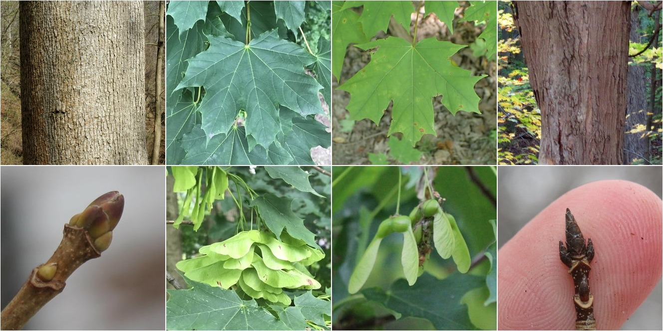 collage of Norway Maple and Sugar Maple