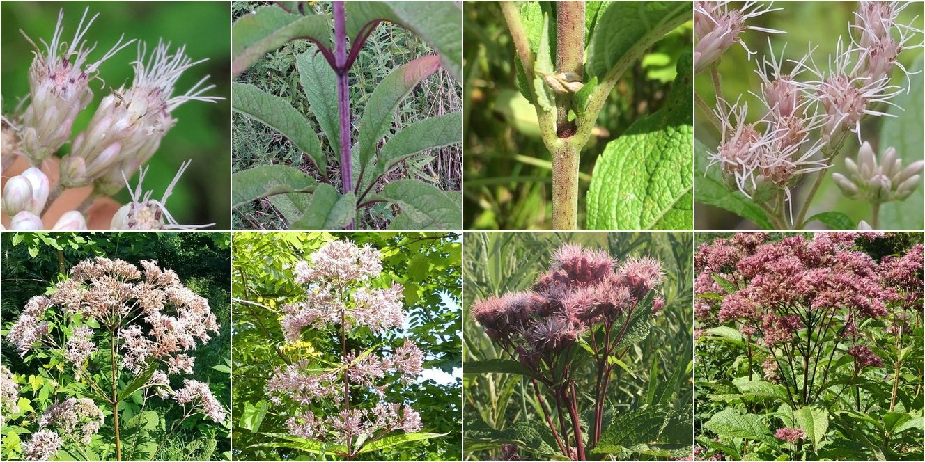 collage of Trumpetweed and Spotted Joe Pye Weed