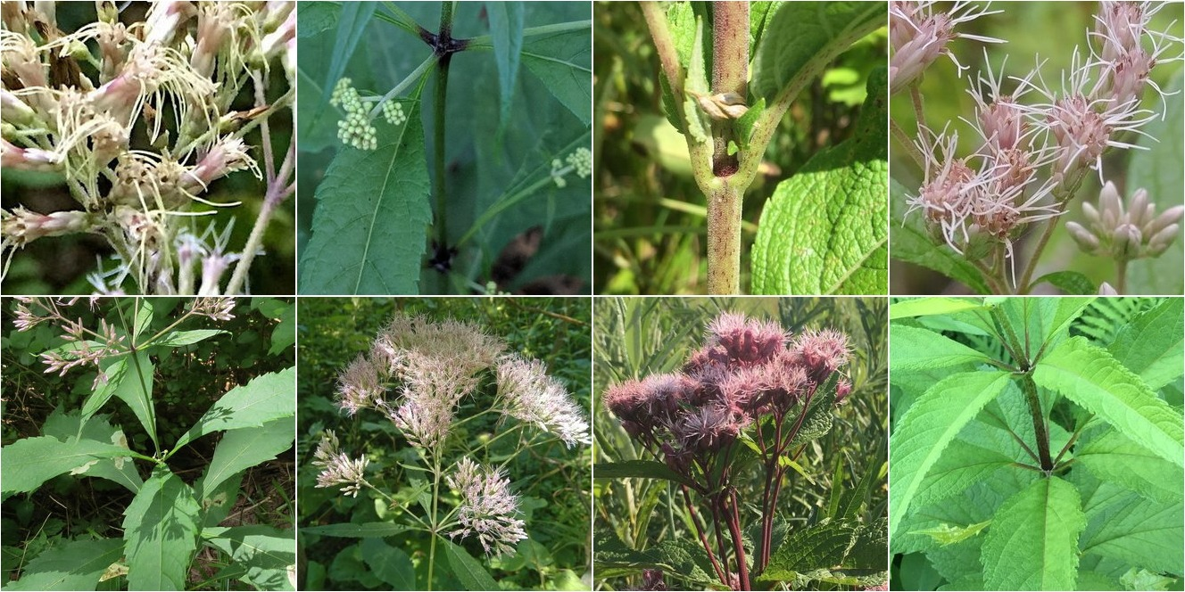 collage of Sweetscented Joe Pye Weed and Spotted Joe Pye Weed