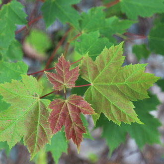 thumbnail of Red Maple