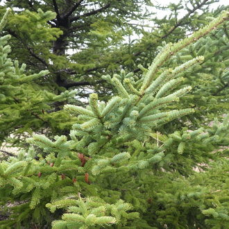 thumbnail of White Spruce