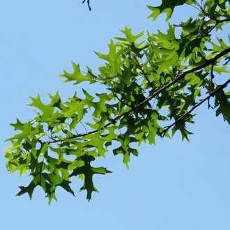 thumbnail of Pin Oak