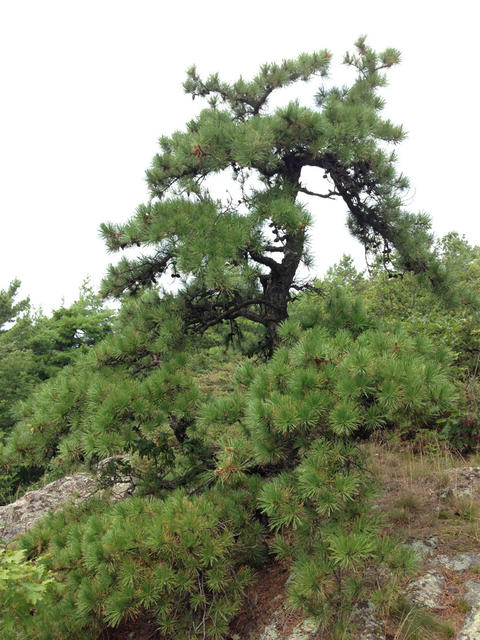 pine tree with twisted trunk and branches and relatively long needles
