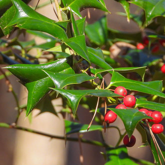 thumbnail of Chinese Holly