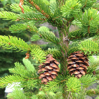 thumbnail of Red Spruce