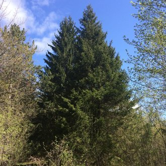 thumbnail of Norway Spruce