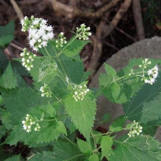 White Snakeroot Ageratina Altissima Bplant Org