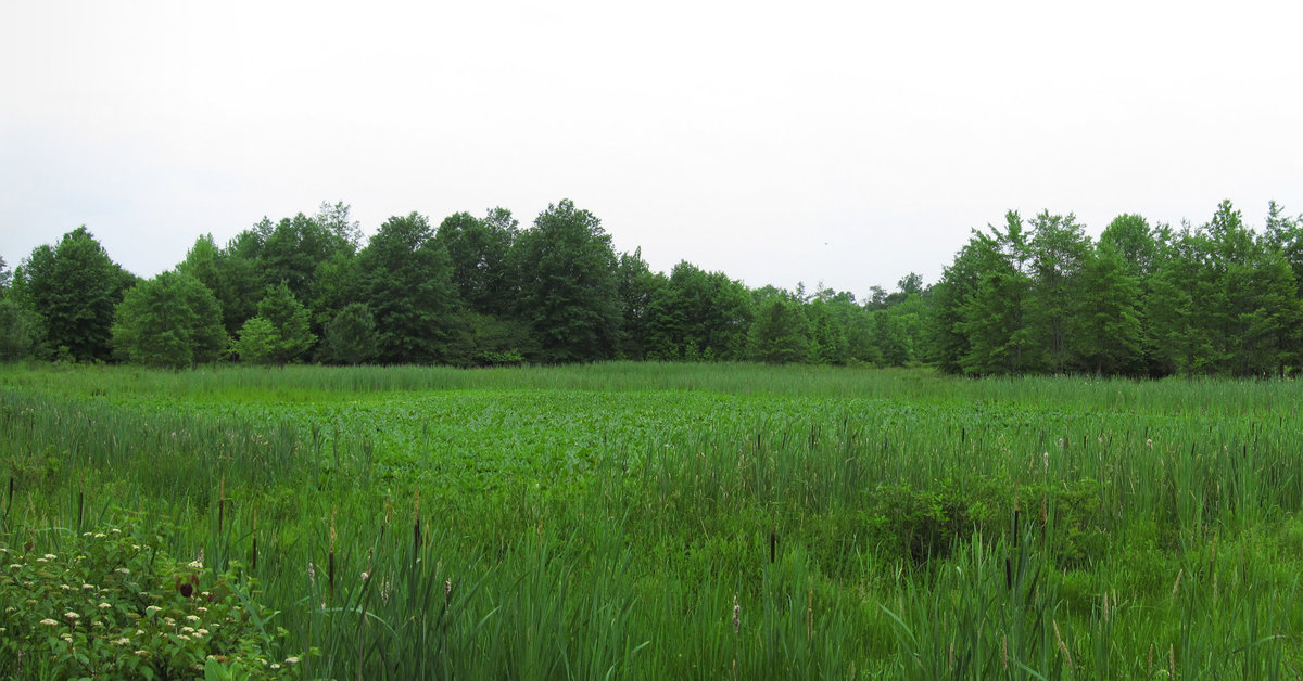 An open wetland with some cattails in the foreground, forest in the background, all lush and green